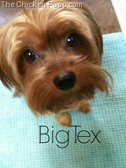 Big Tex, A Yorkie on TheChickenPoop.com