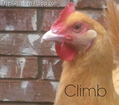 Climb, A golden Orpington on TheChickenPoop.com