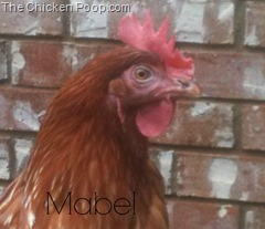 Mabel, A Red Star on TheChickenPoop.com